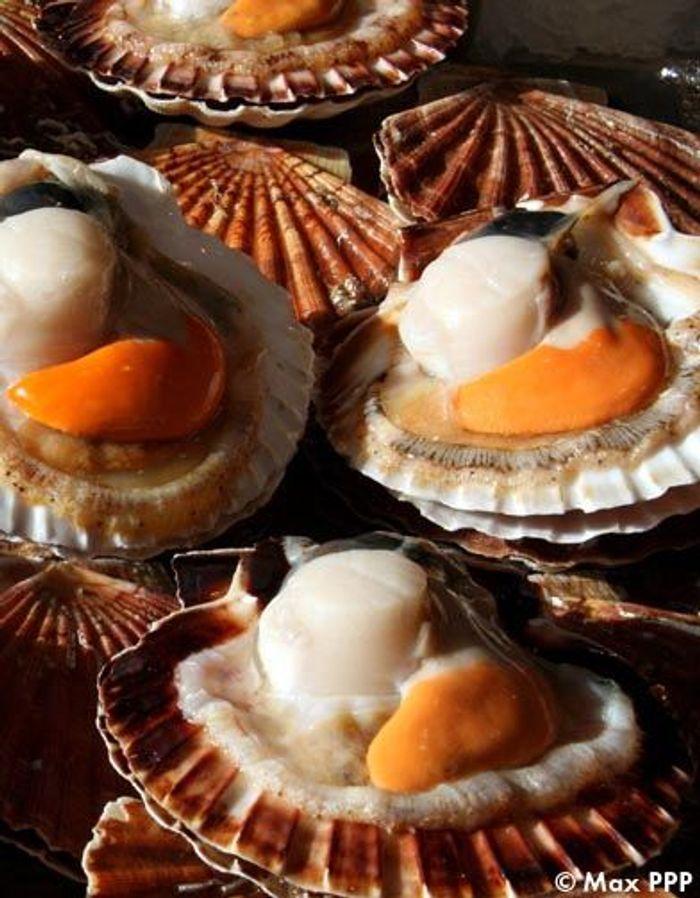 Les coquilles saint jacques les 10 produits cultes de - Cuisiner les coquilles saint jacques fraiches ...