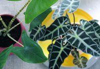 Zoom sur une plante résolument dépaysante : l'Alocasia
